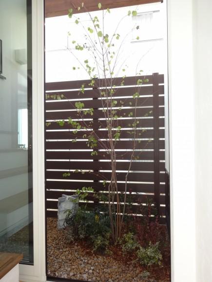 坪庭 目隠しフェンスにカツラの木