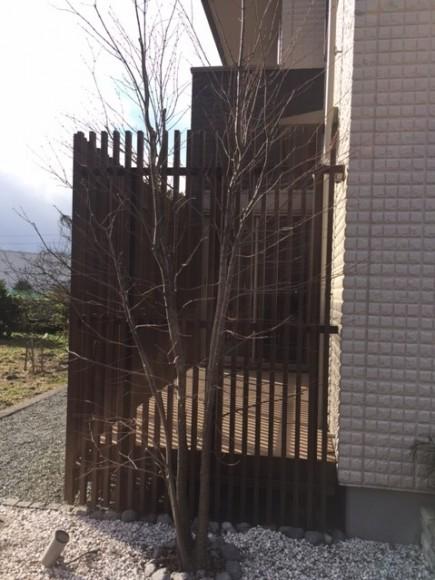 カツラの木 剪定2