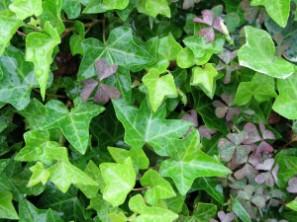 ivy-photo-1-jpcom03_thumb1