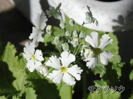 sakurasou